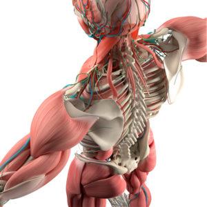 Human anatomy, back,torso, skeleton,muscle. High angle. On white studio background.